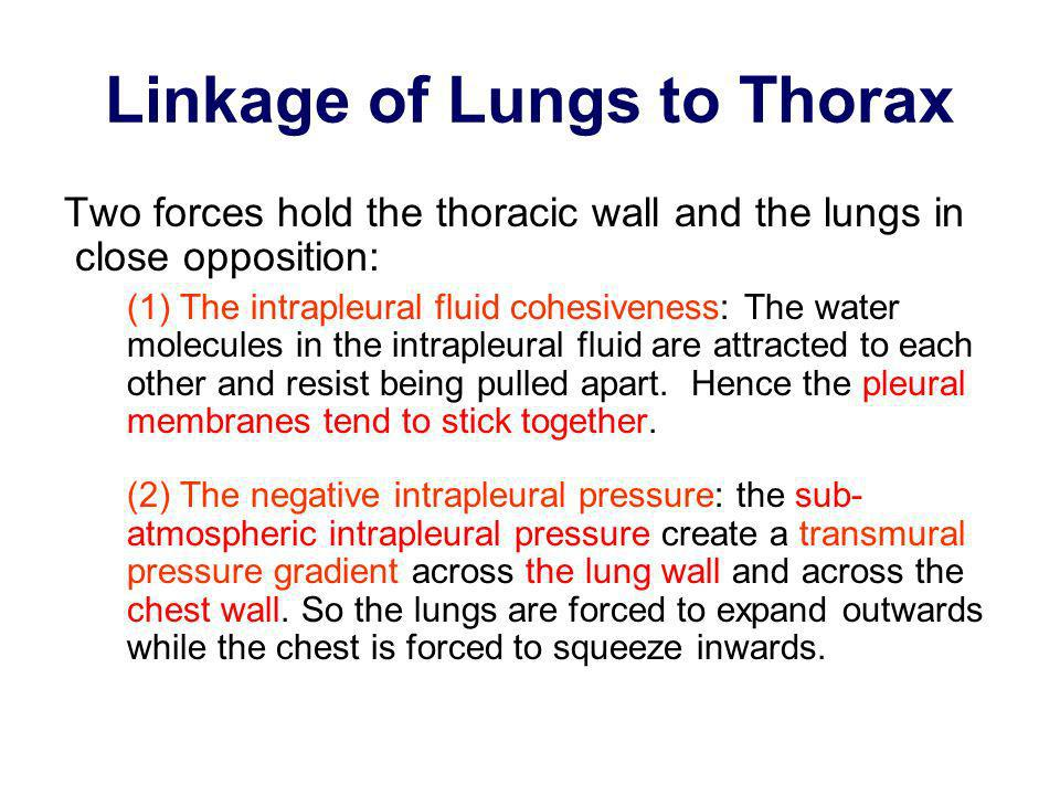 Linkage of Lungs to Thorax Two forces hold the thoracic wall and the lungs in close opposition: (1) The intrapleural fluid cohesiveness: The water mol