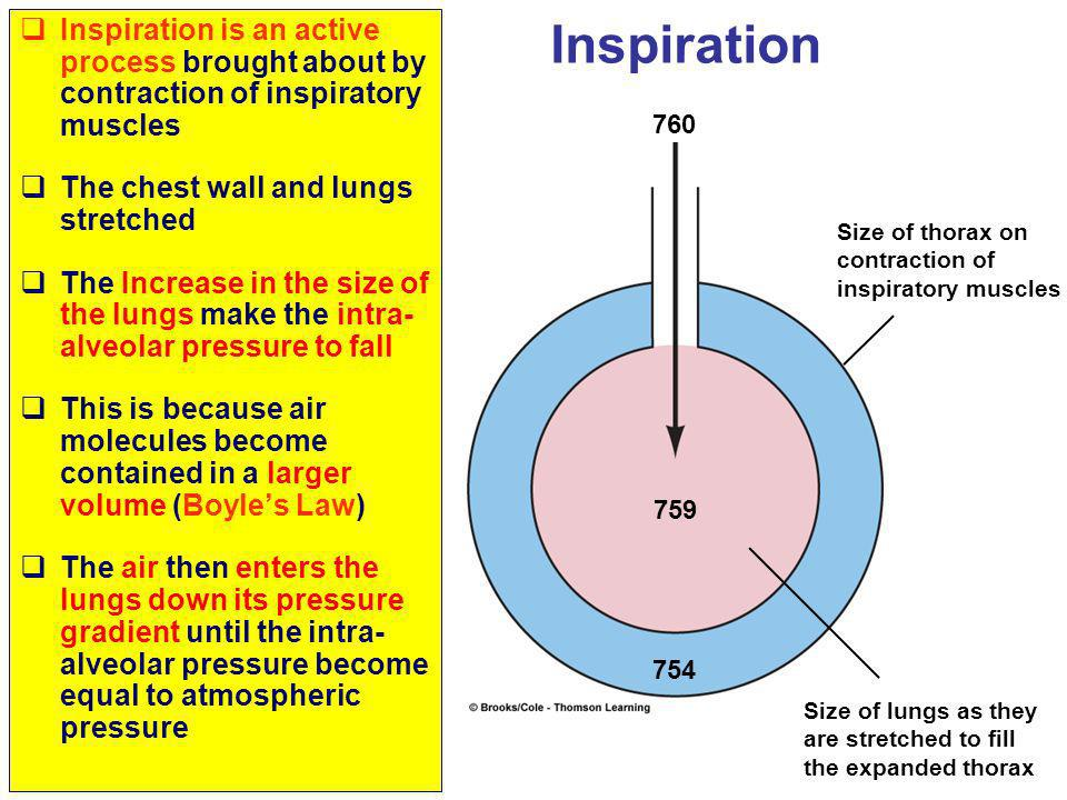 Inspiration is an active process brought about by contraction of inspiratory muscles The chest wall and lungs stretched The Increase in the size of th