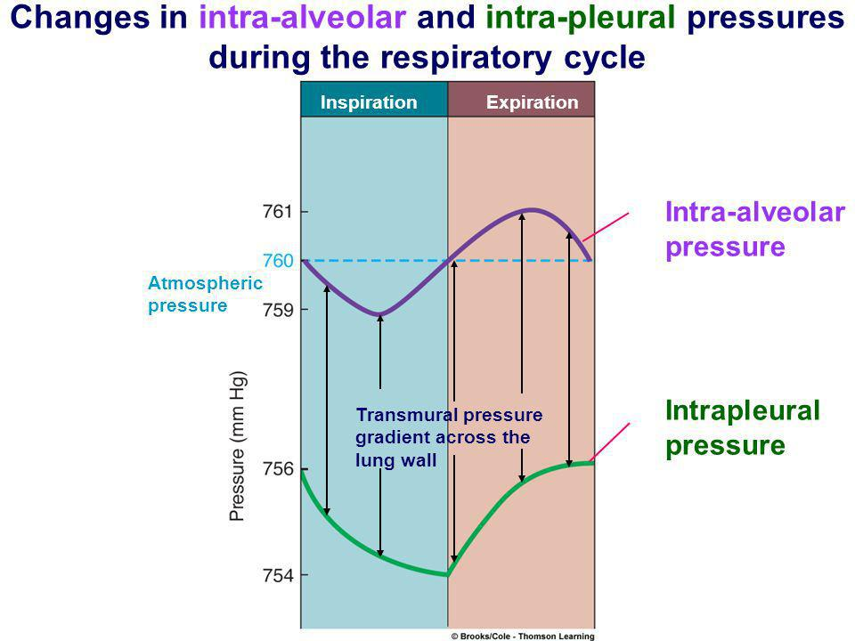InspirationExpiration Atmospheric pressure Intra-alveolar pressure Intrapleural pressure Transmural pressure gradient across the lung wall Fig. 13-14,