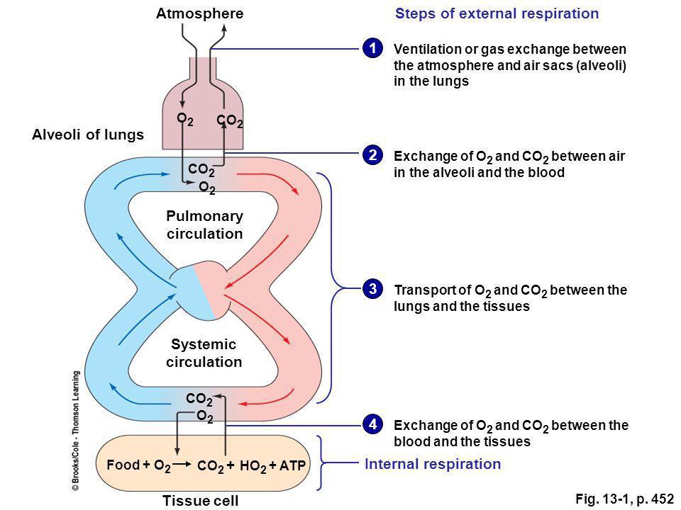 Atmosphere Tissue cell Alveoli of lungs Pulmonary circulation Systemic circulation CO 2 O2O2 Food + O 2 CO 2 + HO 2 + ATP O2O2 CO 2 O2O2 1 Steps of ex