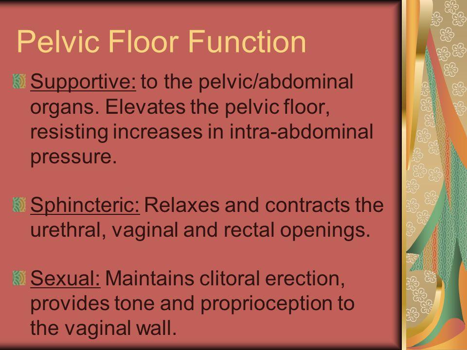 Pelvic Floor Function Supportive: to the pelvic/abdominal organs. Elevates the pelvic floor, resisting increases in intra-abdominal pressure. Sphincte