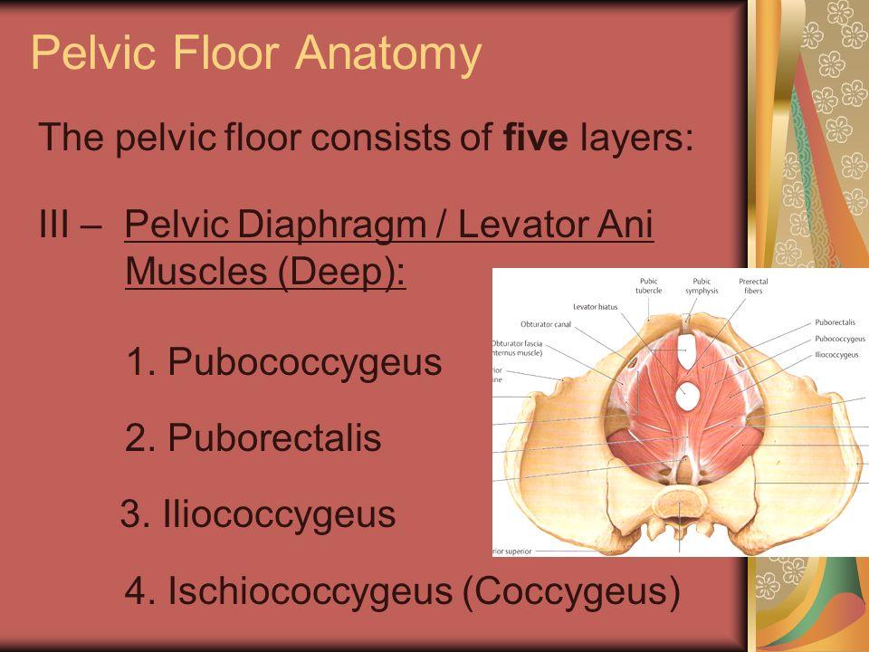Pelvic Floor Anatomy The pelvic floor consists of five layers: III – Pelvic Diaphragm / Levator Ani Muscles (Deep): 1. Pubococcygeus 2. Puborectalis 3