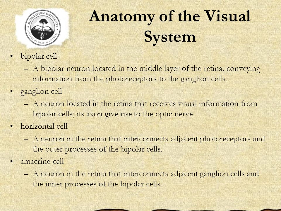 Anatomy of the Visual System bipolar cell –A bipolar neuron located in the middle layer of the retina, conveying information from the photoreceptors t