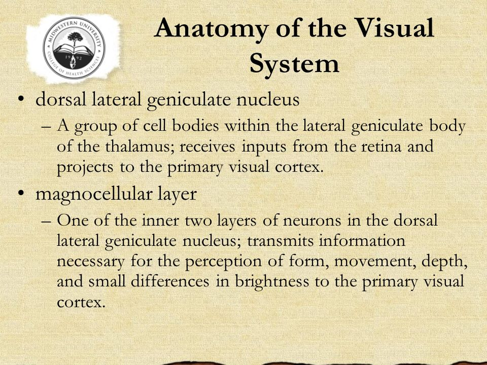 Anatomy of the Visual System dorsal lateral geniculate nucleus –A group of cell bodies within the lateral geniculate body of the thalamus; receives in