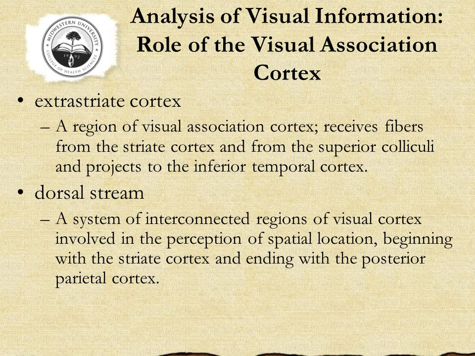Analysis of Visual Information: Role of the Visual Association Cortex extrastriate cortex –A region of visual association cortex; receives fibers from