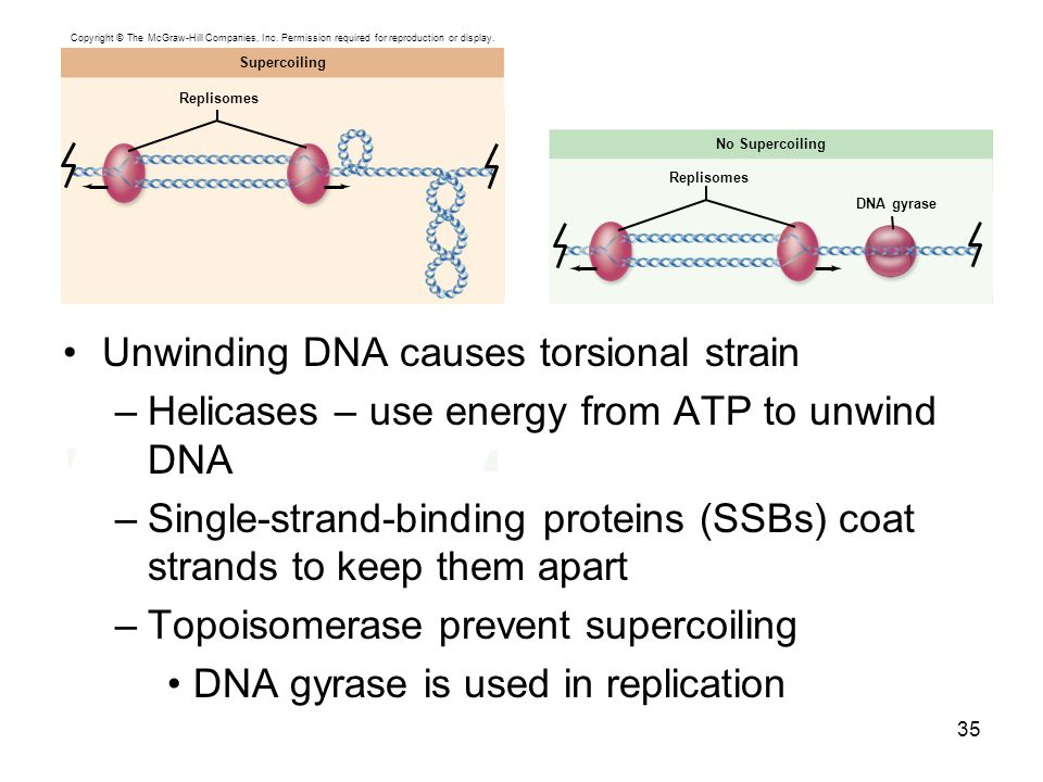 Unwinding DNA causes torsional strain –Helicases – use energy from ATP to unwind DNA –Single-strand-binding proteins (SSBs) coat strands to keep them