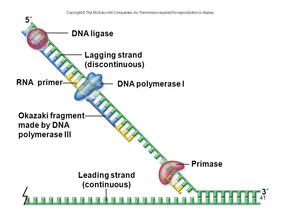 41 Copyright © The McGraw-Hill Companies, Inc. Permission required for reproduction or display. 5´ 3´ Primase RNA primer Okazaki fragment made by DNA