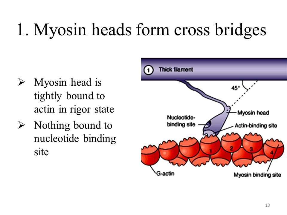 10 1. Myosin heads form cross bridges Myosin head is tightly bound to actin in rigor state Nothing bound to nucleotide binding site