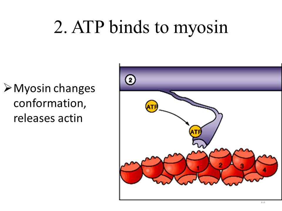 11 2. ATP binds to myosin Myosin changes conformation, releases actin