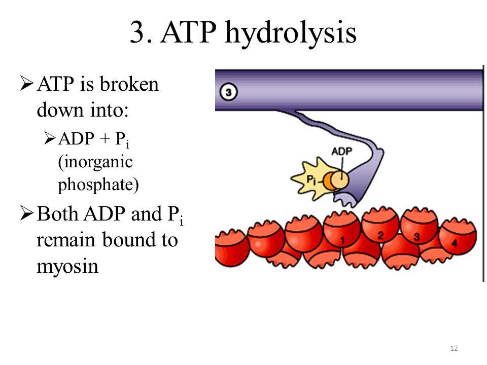 12 3. ATP hydrolysis ATP is broken down into: ADP + P i (inorganic phosphate) Both ADP and P i remain bound to myosin