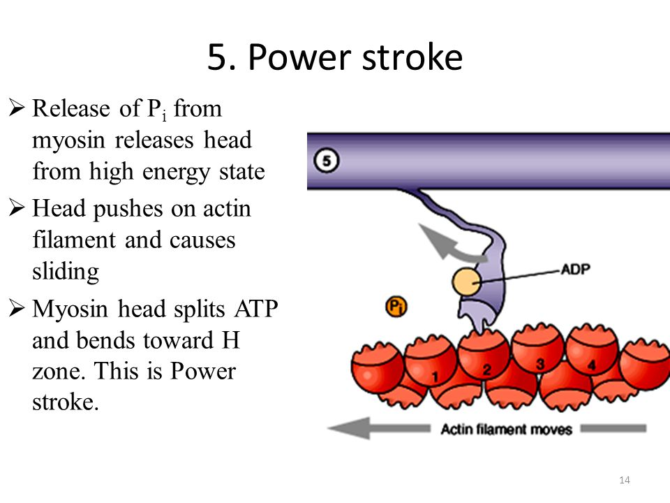 14 5. Power stroke Release of P i from myosin releases head from high energy state Head pushes on actin filament and causes sliding Myosin head splits