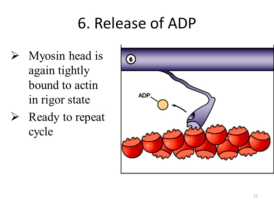 15 6. Release of ADP Myosin head is again tightly bound to actin in rigor state Ready to repeat cycle