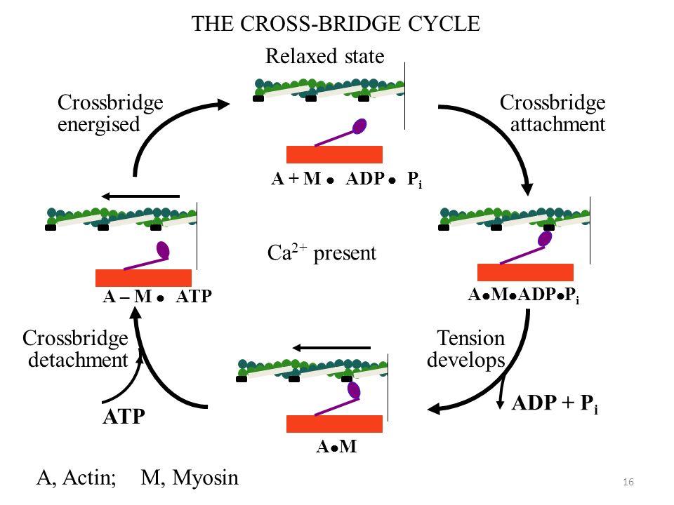 16 THE CROSS-BRIDGE CYCLE ATP ADP + P i A M A – M ATP A M ADP P i A + M ADP P i Relaxed state Crossbridge energised Crossbridge attachment Tension dev