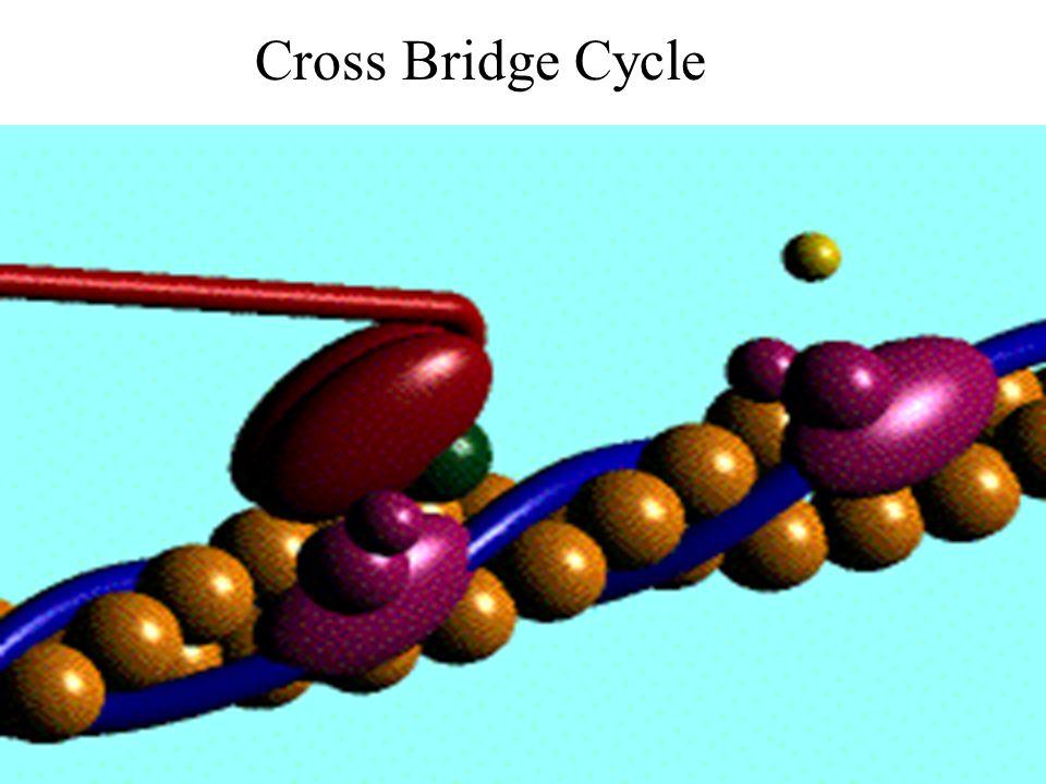 17 Cross Bridge Cycle
