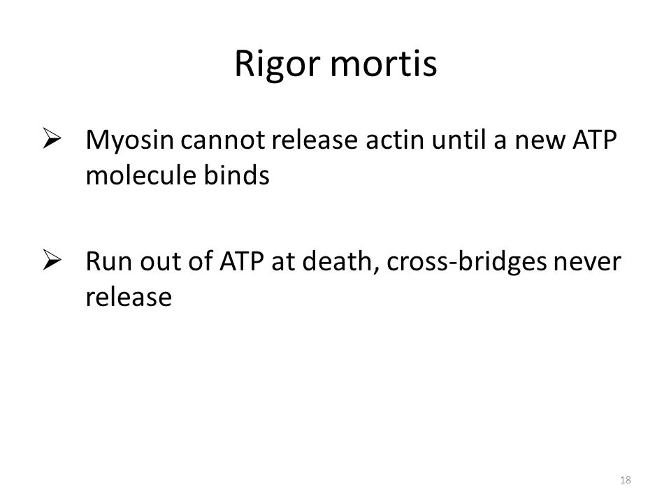 18 Rigor mortis Myosin cannot release actin until a new ATP molecule binds Run out of ATP at death, cross-bridges never release