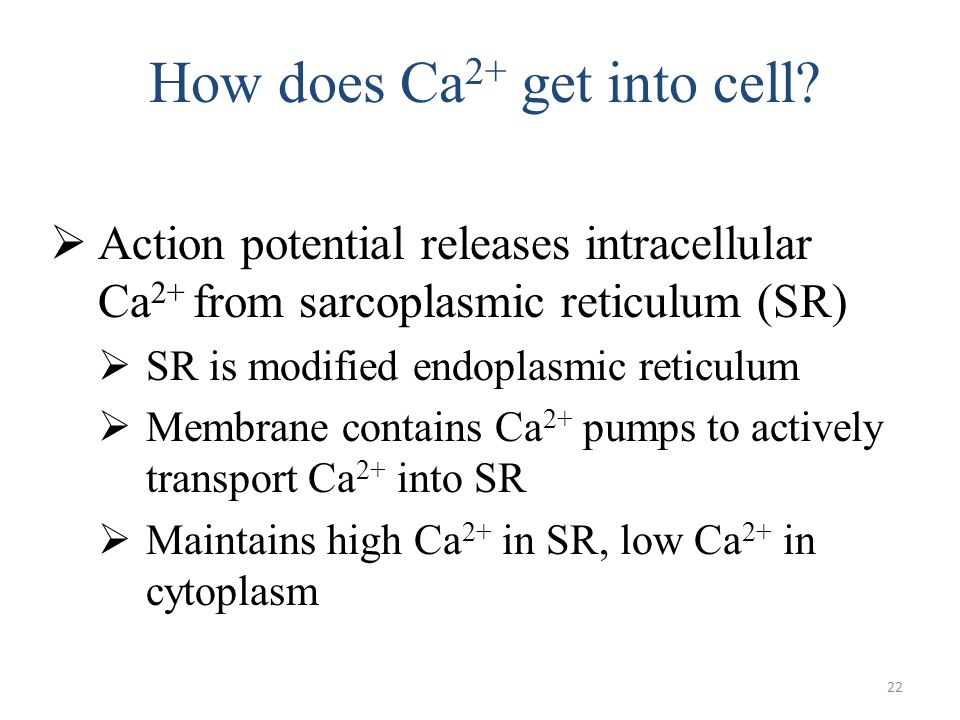 22 How does Ca 2+ get into cell? Action potential releases intracellular Ca 2+ from sarcoplasmic reticulum (SR) SR is modified endoplasmic reticulum M