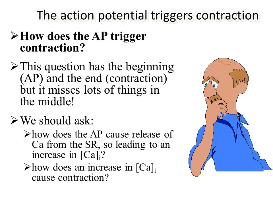 The action potential triggers contraction How does the AP trigger contraction? This question has the beginning (AP) and the end (contraction) but it m