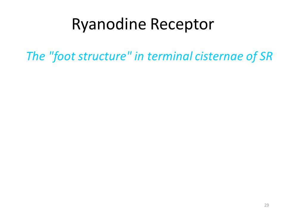 29 Ryanodine Receptor The