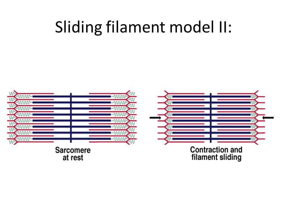 Sliding filament model II: