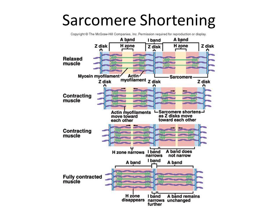 Sarcomere Shortening