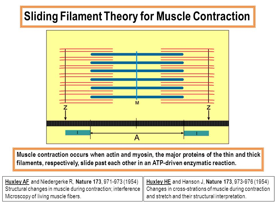 Muscle contraction occurs when actin and myosin, the major proteins of the thin and thick filaments, respectively, slide past each other in an ATP-dri