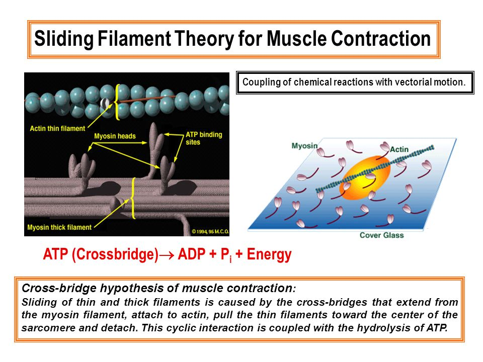 Cross-bridge hypothesis of muscle contraction : Sliding of thin and thick filaments is caused by the cross-bridges that extend from the myosin filamen