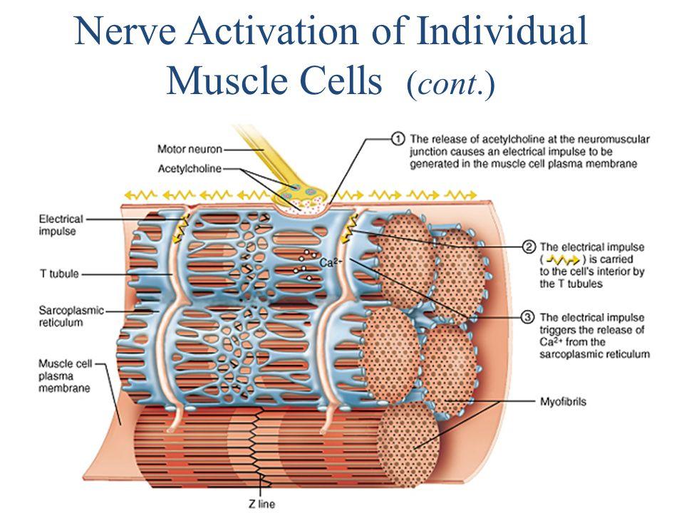 Sliding Filament Model I: Actin myofilaments sliding over myosin to shorten sarcomeres – Actin and myosin do not change length – Shortening sarcomeres responsible for skeletal muscle contraction During relaxation, sarcomeres lengthen