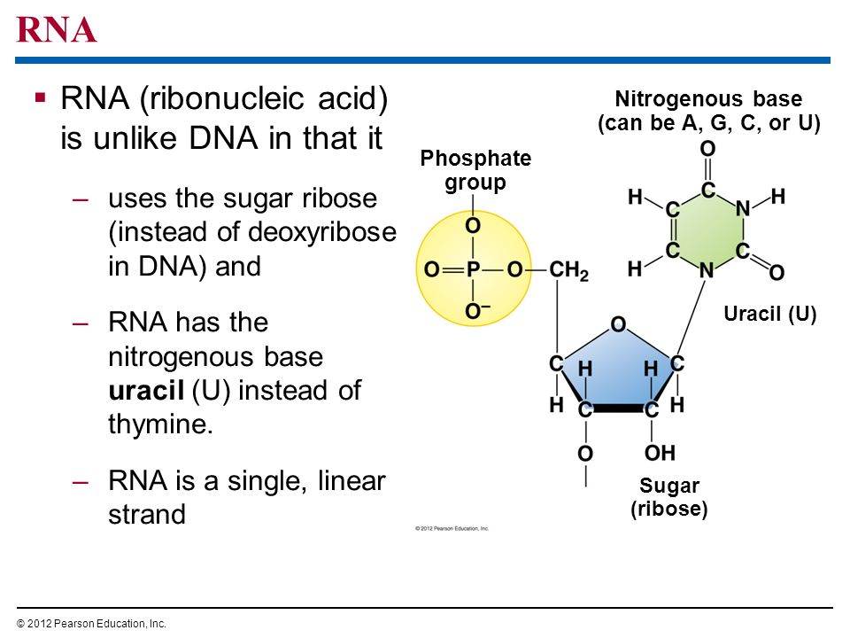 RNA RNA (ribonucleic acid) is unlike DNA in that it –uses the sugar ribose (instead of deoxyribose in DNA) and –RNA has the nitrogenous base uracil (U