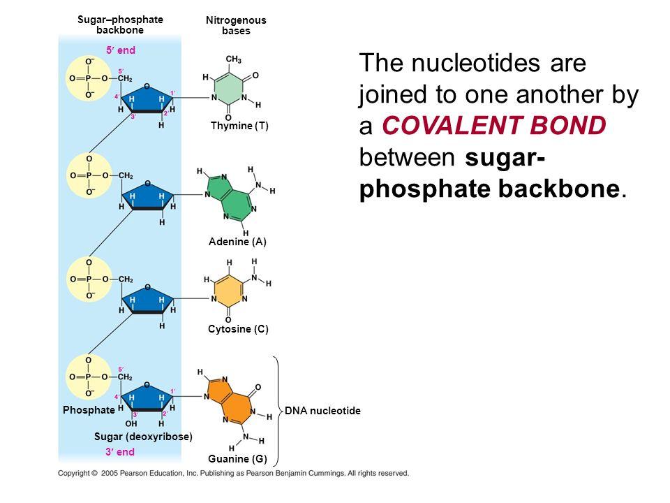 Sugar–phosphate backbone 5 end Nitrogenous bases Thymine (T) Adenine (A) Cytosine (C) DNA nucleotide Phosphate 3 end Guanine (G) Sugar (deoxyribose) T