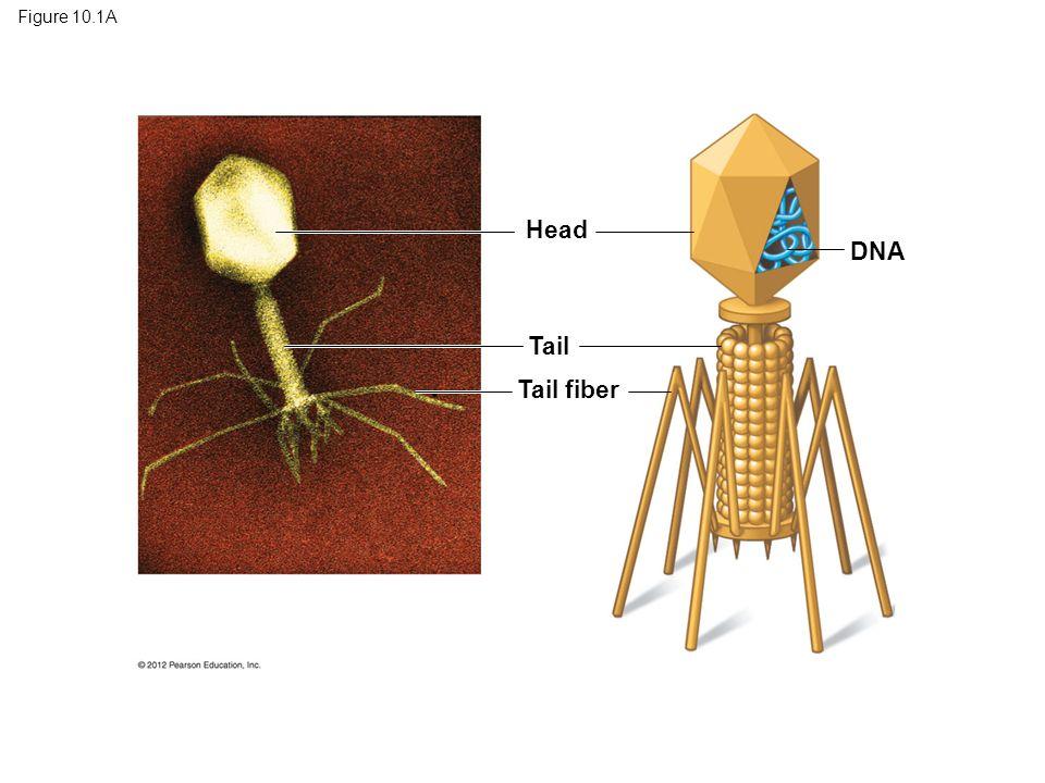 Figure 10.1A Head Tail Tail fiber DNA