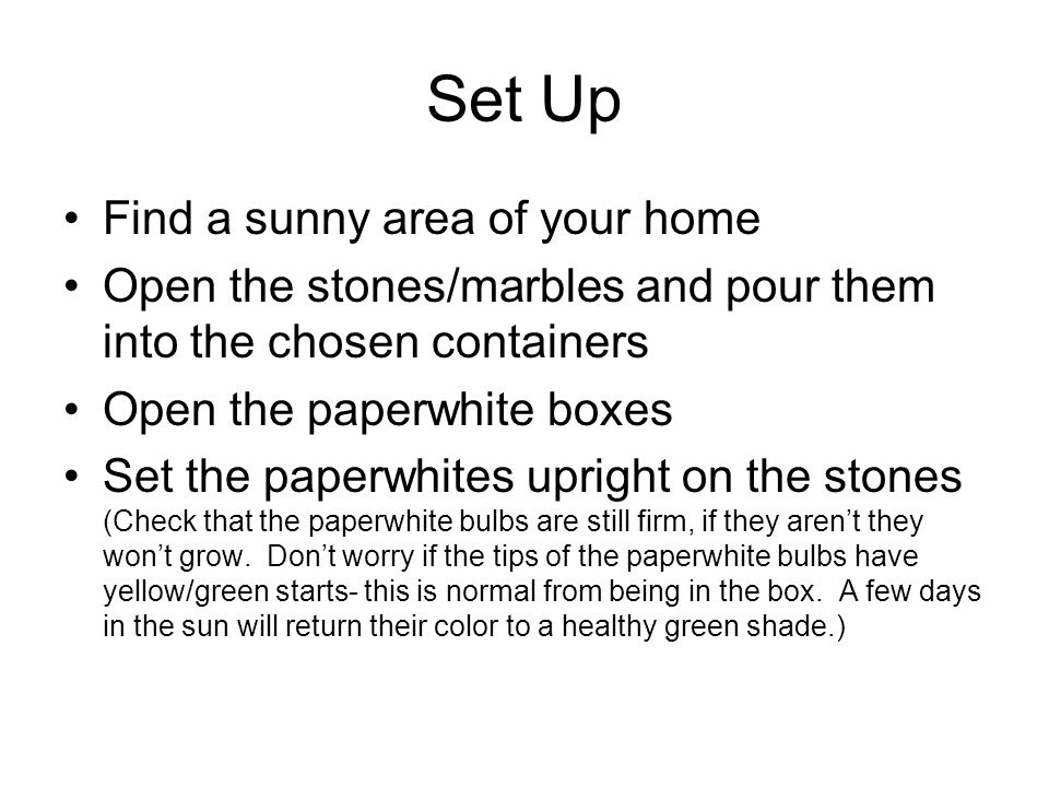 Set Up Find a sunny area of your home Open the stones/marbles and pour them into the chosen containers Open the paperwhite boxes Set the paperwhites upright on the stones (Check that the paperwhite bulbs are still firm, if they arent they wont grow.