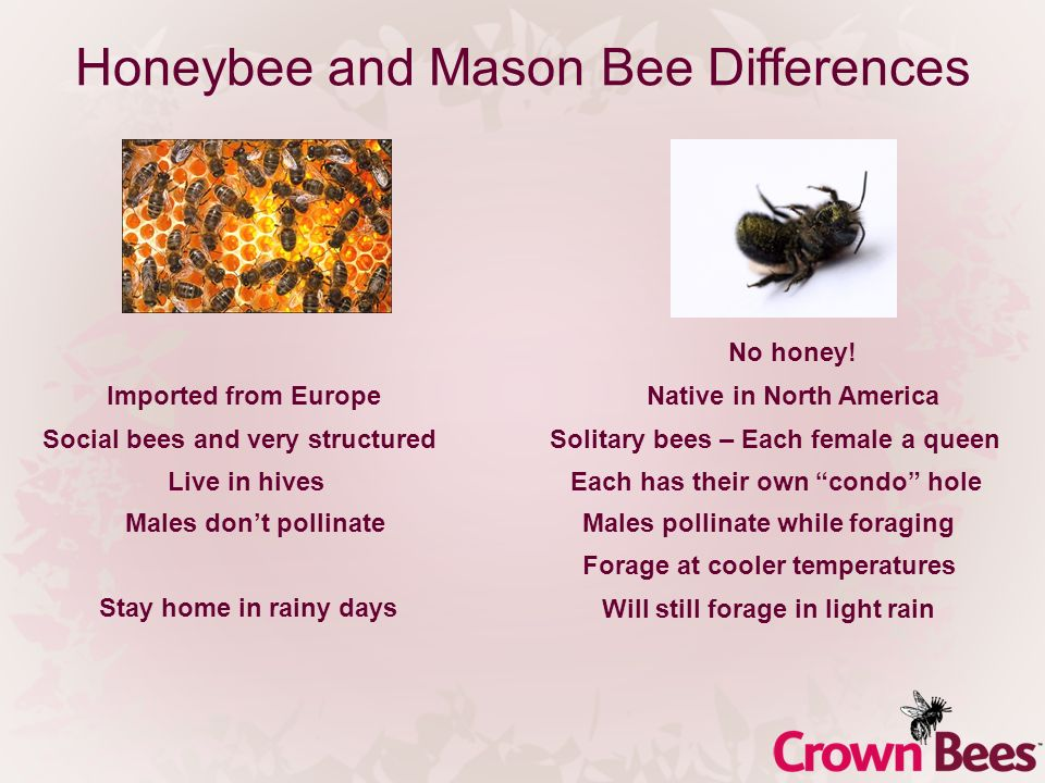 Honeybee and Mason Bee Differences Social bees and very structuredSolitary bees – Each female a queen Males pollinate while foraging No honey.