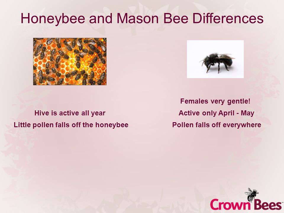 Honeybee and Mason Bee Differences Females very gentle! Hive is active all yearActive only April - May Little pollen falls off the honeybeePollen fall