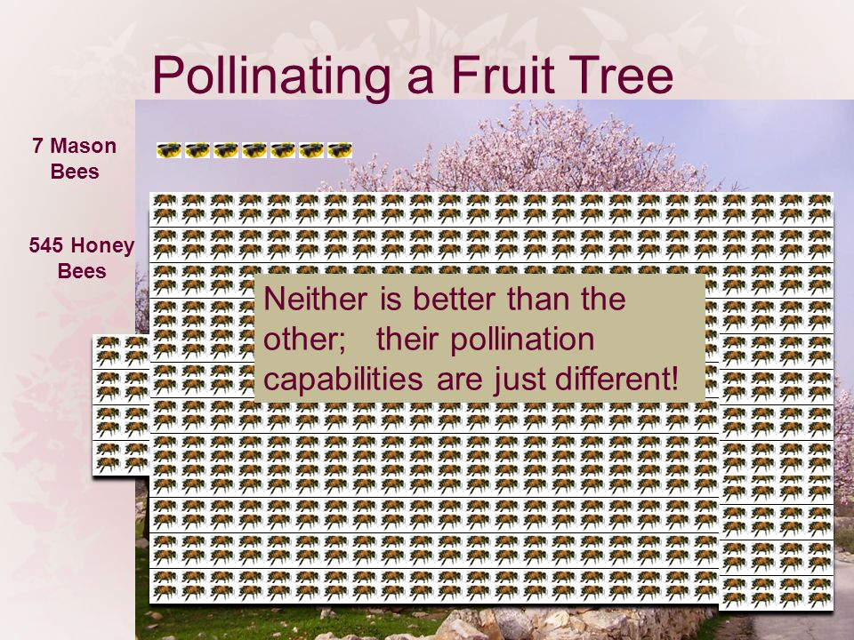 Pollinating a Fruit Tree 7 Mason Bees 545 Honey Bees Neither is better than the other; their pollination capabilities are just different!