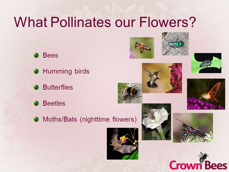 What Pollinates our Flowers? Bees Humming birds Butterflies Beetles Moths/Bats (nighttime flowers)