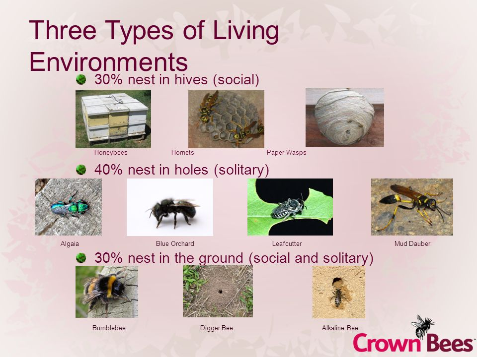 Three Types of Living Environments 30% nest in hives (social) HoneybeesHornetsPaper Wasps 40% nest in holes (solitary) 30% nest in the ground (social