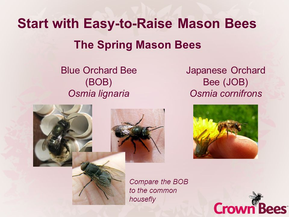 Start with Easy-to-Raise Mason Bees The Spring Mason Bees Blue Orchard Bee (BOB) Osmia lignaria Japanese Orchard Bee (JOB) Osmia cornifrons Compare th