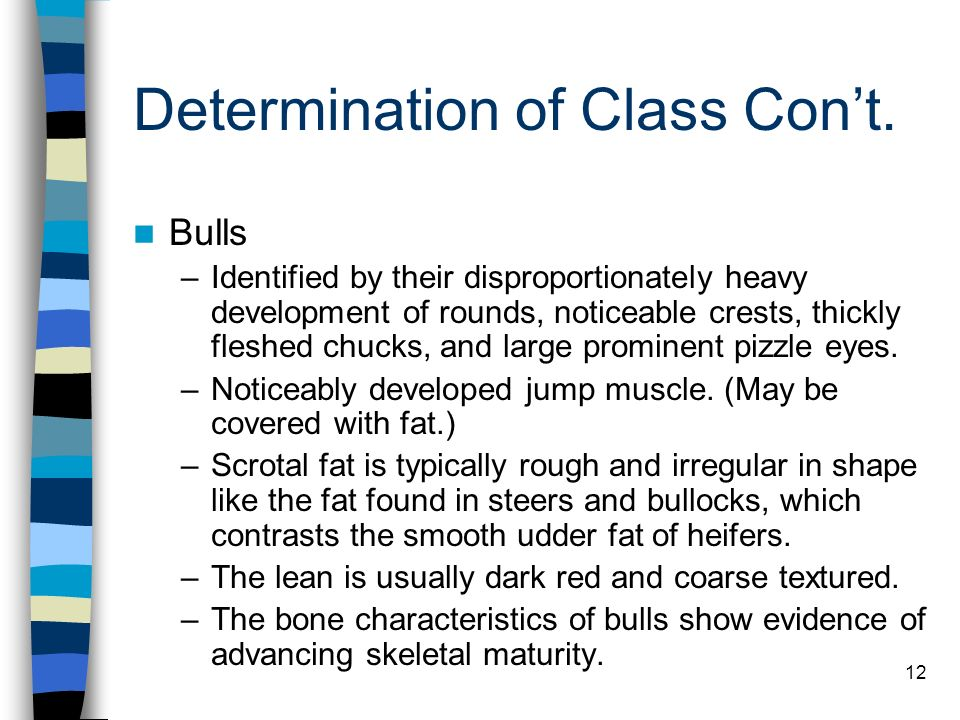 12 Determination of Class Cont. Bulls –Identified by their disproportionately heavy development of rounds, noticeable crests, thickly fleshed chucks,