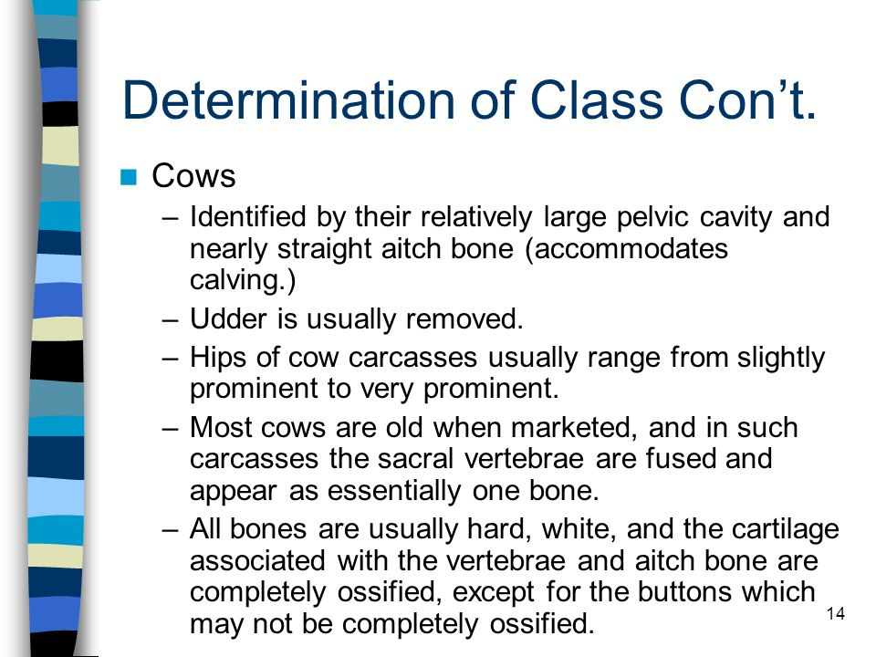 14 Determination of Class Cont. Cows –Identified by their relatively large pelvic cavity and nearly straight aitch bone (accommodates calving.) –Udder