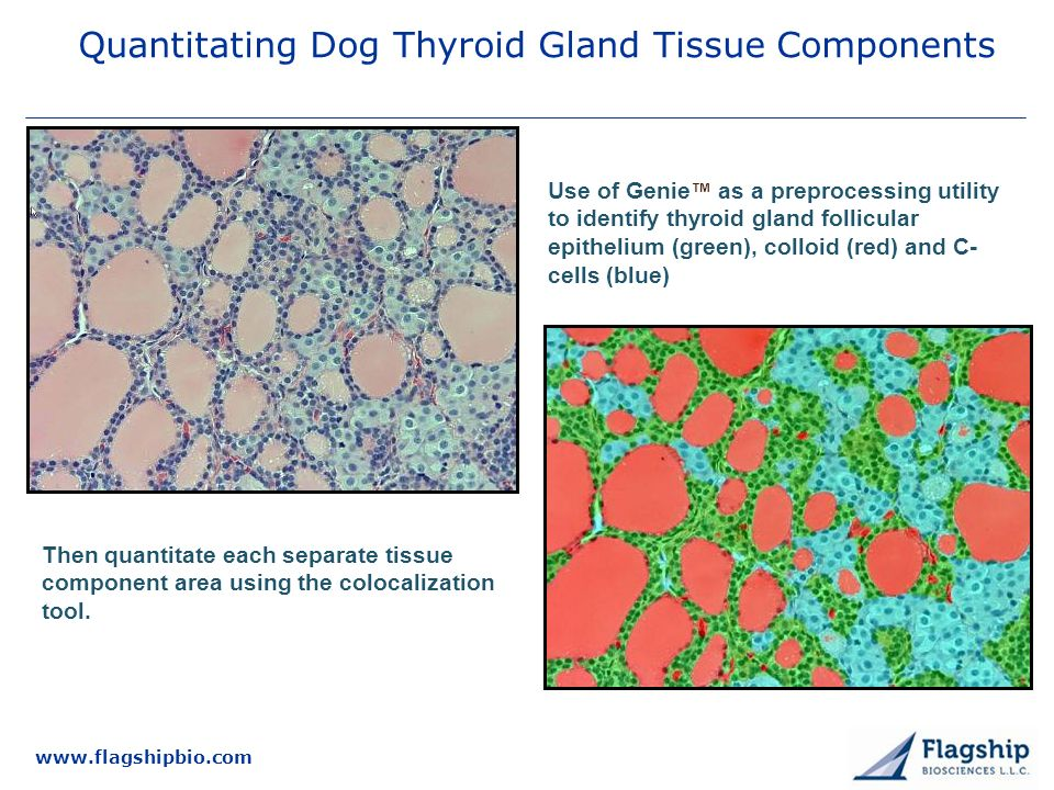 www.flagshipbio.com Quantitating Dog Thyroid Gland Tissue Components Use of Genie as a preprocessing utility to identify thyroid gland follicular epithelium (green), colloid (red) and C- cells (blue) Then quantitate each separate tissue component area using the colocalization tool.