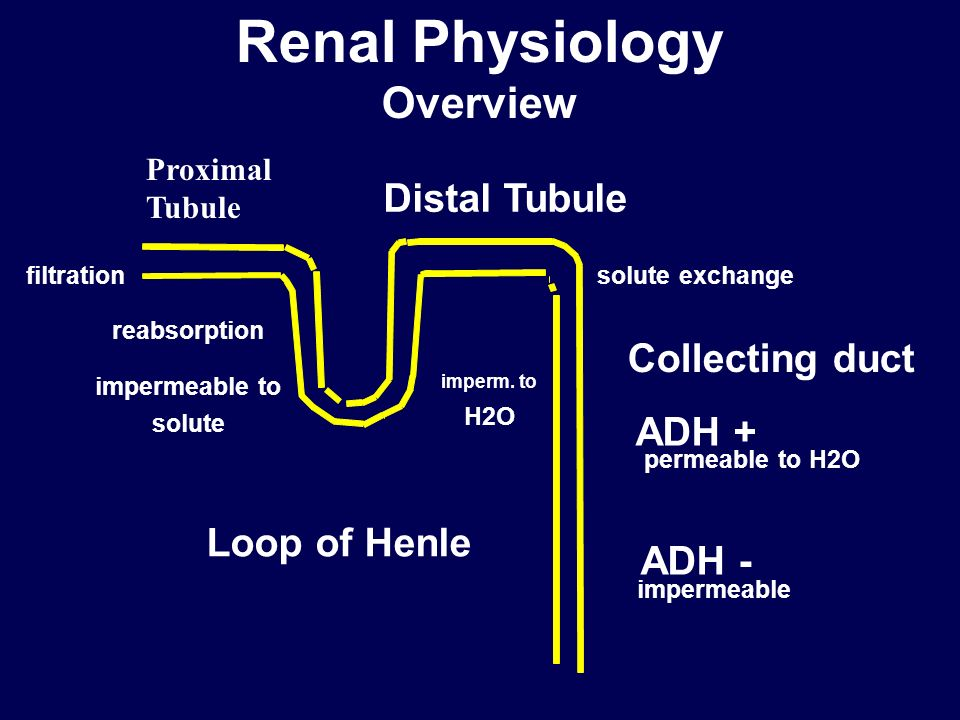 Renal Physiology Overview Distal Tubule Loop of Henle Collecting duct ADH + ADH - permeable to H2O impermeable solute exchange reabsorption filtration