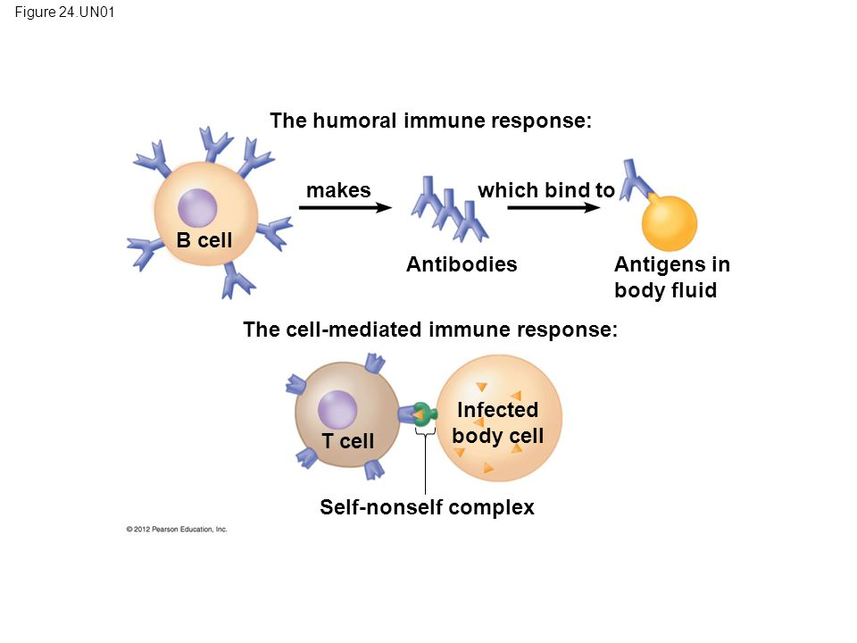 Figure 24.UN01 The humoral immune response: B cell T cell makes which bind to AntibodiesAntigens in body fluid The cell-mediated immune response: Infe