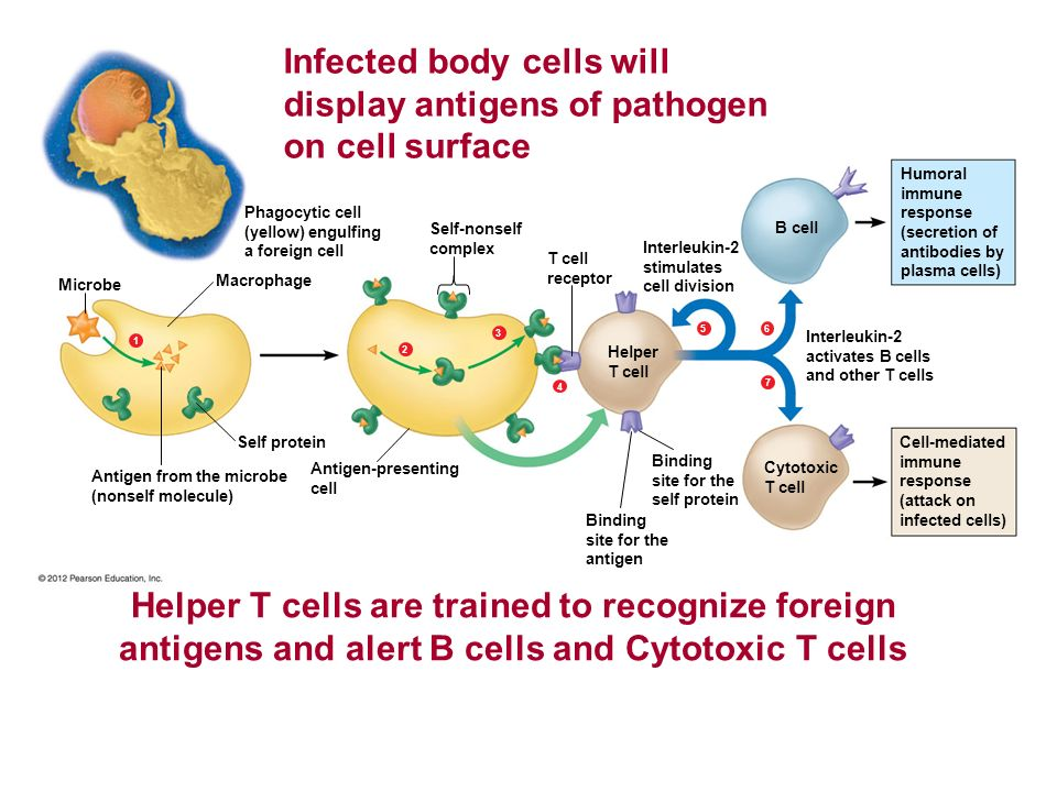 Antigen from the microbe (nonself molecule) Antigen-presenting cell Self protein Microbe Macrophage 1234567 Self-nonself complex Phagocytic cell (yell