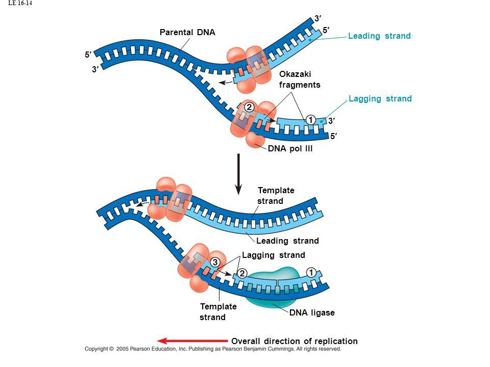 LE 16-14 Parental DNA 5 3 Leading strand 3 5 3 5 Okazaki fragments Lagging strand DNA pol III Template strand Leading strand Lagging strand DNA ligase