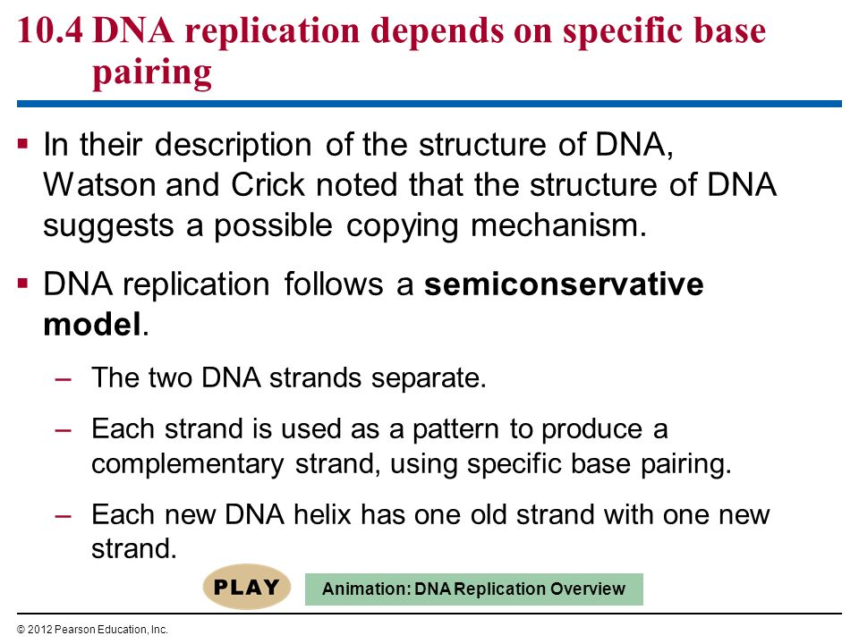 10.4 DNA replication depends on specific base pairing In their description of the structure of DNA, Watson and Crick noted that the structure of DNA s