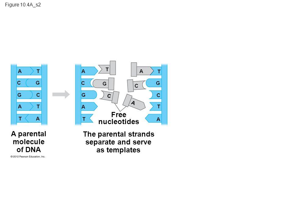 Figure 10.4A_s2 A parental molecule of DNA A C G C A T T A The parental strands separate and serve as templates Free nucleotides T A T T A A T A G G G