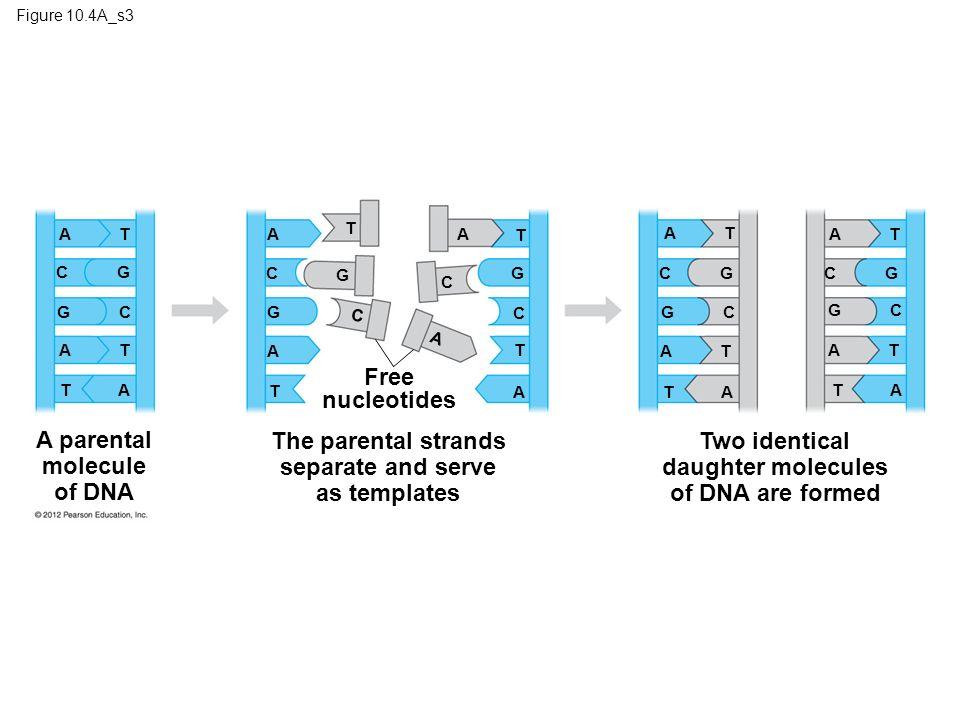 Figure 10.4A_s3 A parental molecule of DNA A C G C A T T A The parental strands separate and serve as templates Free nucleotides T A T T A A T A G G G