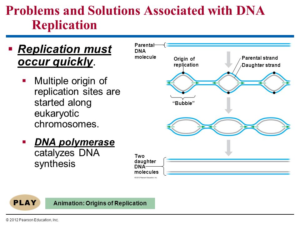 Replication must occur quickly. Multiple origin of replication sites are started along eukaryotic chromosomes. DNA polymerase catalyzes DNA synthesis