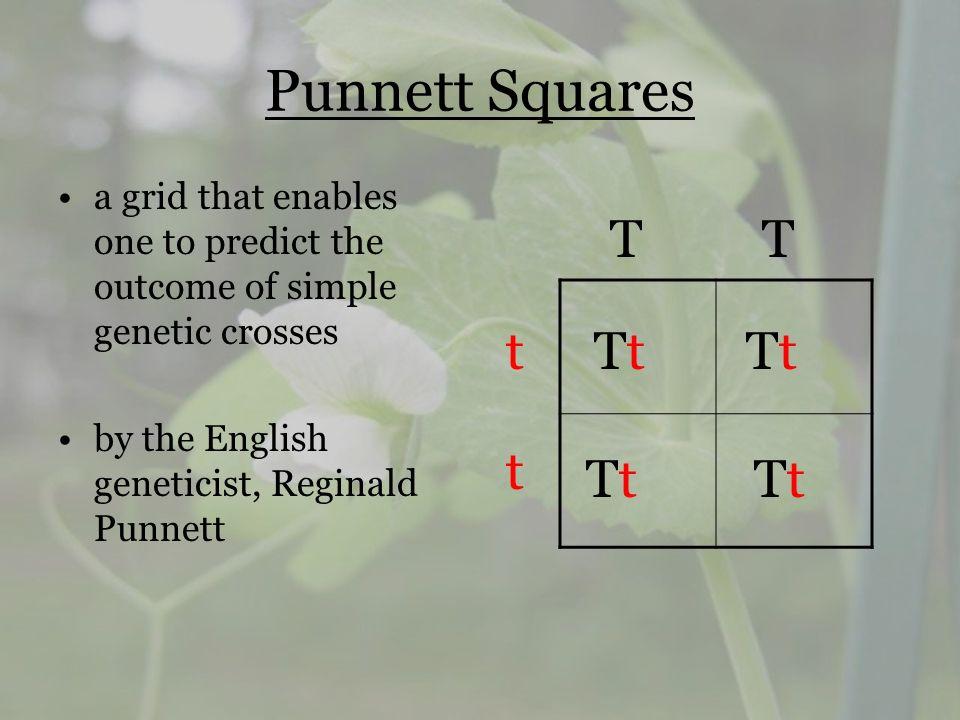Punnett Squares a grid that enables one to predict the outcome of simple genetic crosses by the English geneticist, Reginald Punnett TT t t TtTt TtTt