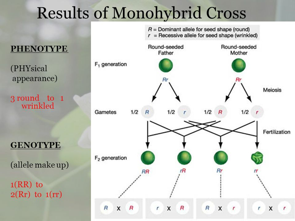 Results of Monohybrid Cross PHENOTYPE (PHYsical appearance) 3 round to 1 wrinkled GENOTYPE (allele make up) 1(RR) to 2(Rr) to 1(rr)